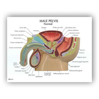 Male Pelvis BPH 3D Model | Health Edco | Anatomy Models