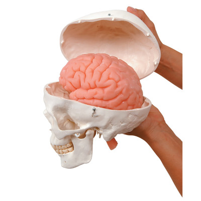 Human Skull Model with Brain, hands holding skull model in two pieces showing pink soft brain model, Health Edco, 52043