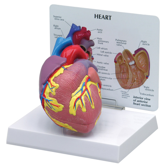 3D Heart Model with standup card diagram showing interior and exterior with parts identified, Health Edco, 52424