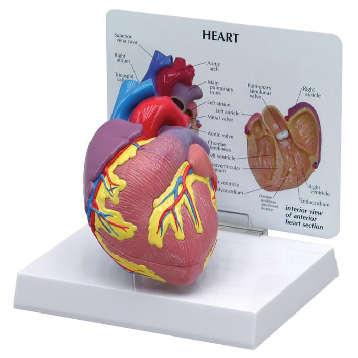 Heart Model | Health Edco | Health Education Models