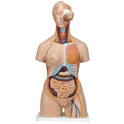 Deluxe Malefemale Torso Anatomy Model Health Edco