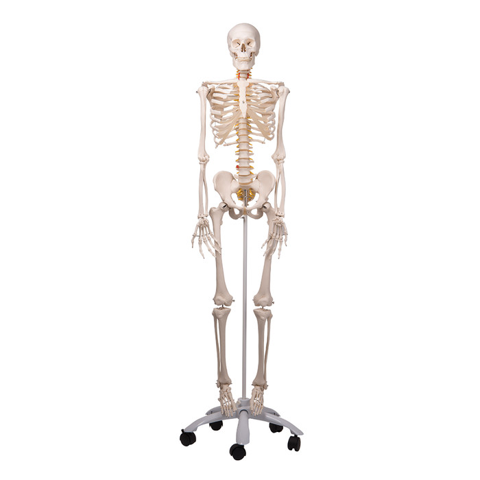 Human Skeleton With Flexible Spine Model