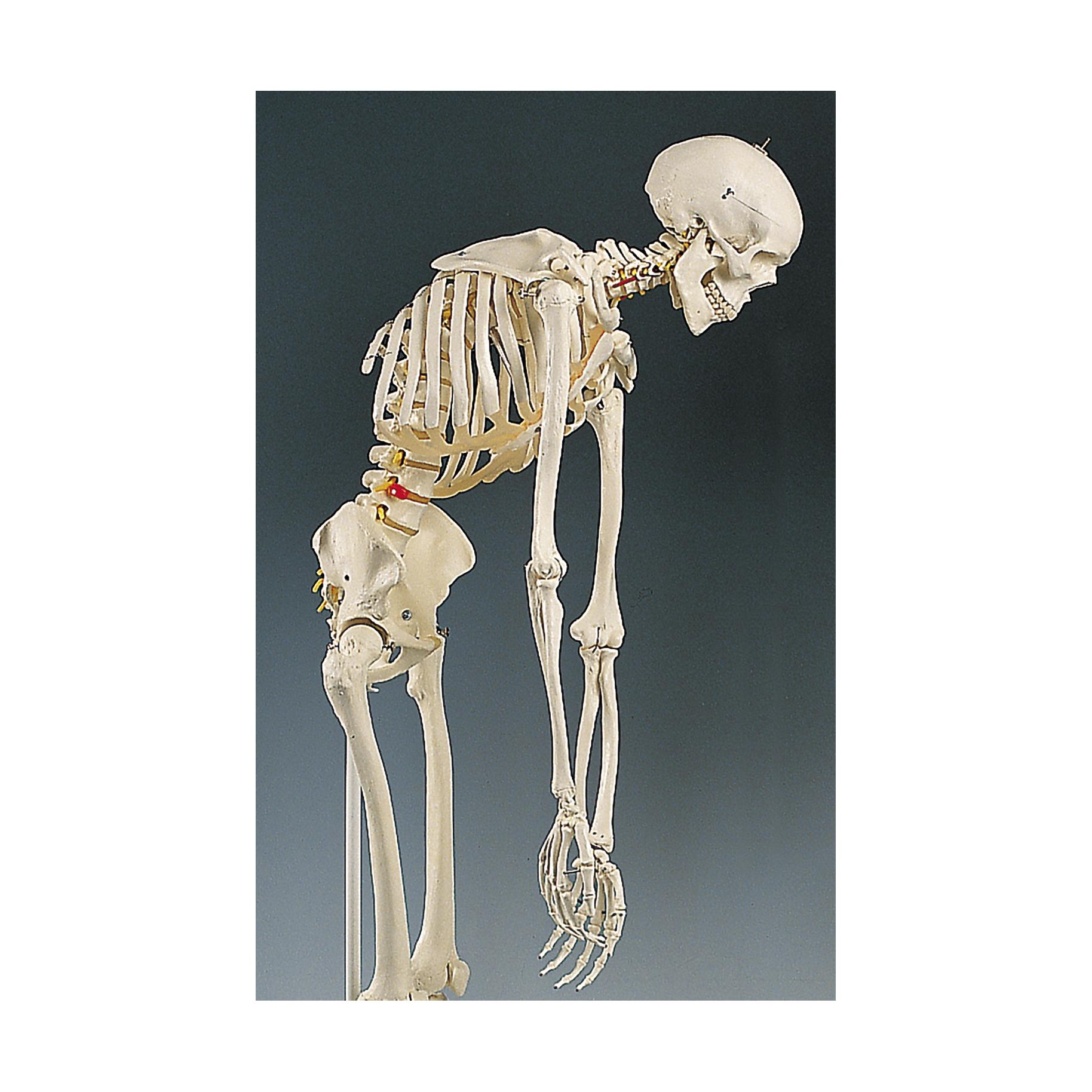 Human Skeleton Spine Images Human Anatomy Organs Diagram