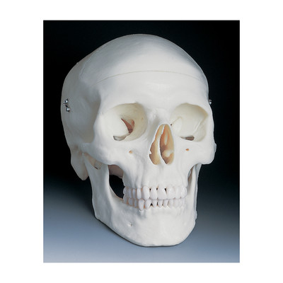 Basic Human Skull Model, can be separated into 3 parts basic anatomy, Health Edco, 54077