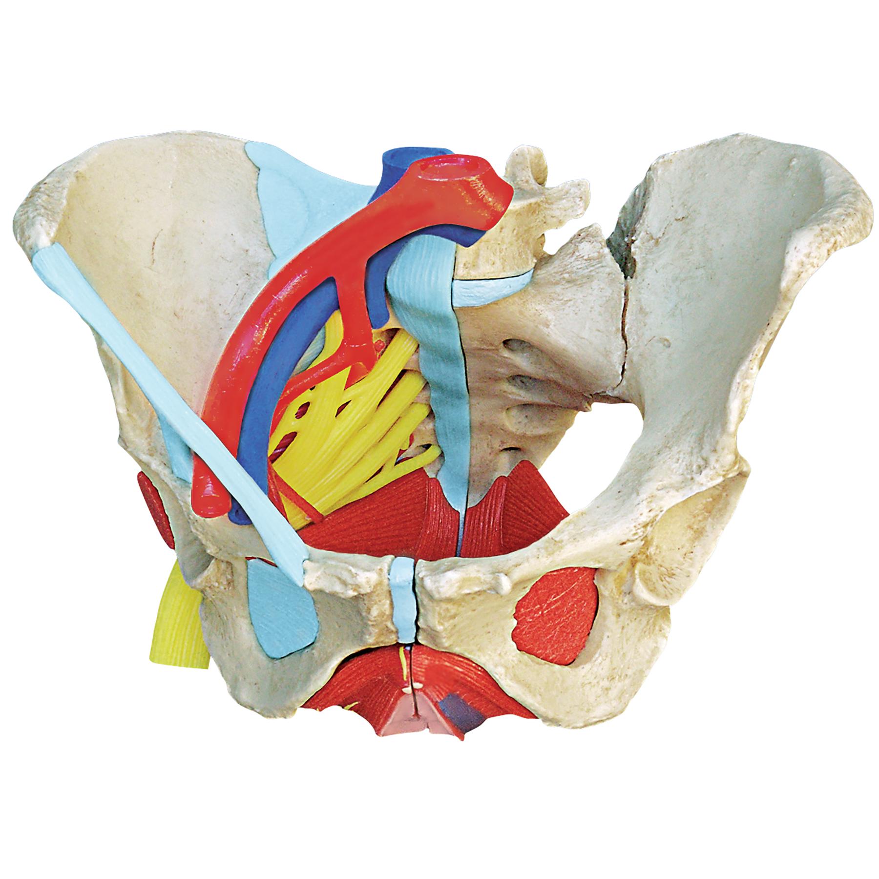 Anatomical Female Pelvis Model | Childbirth Graphics