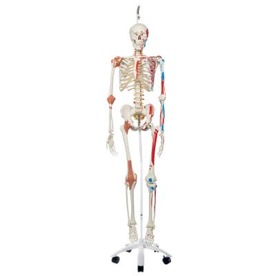Deluxe Human Skeleton Model Health Edco Anatomy Models