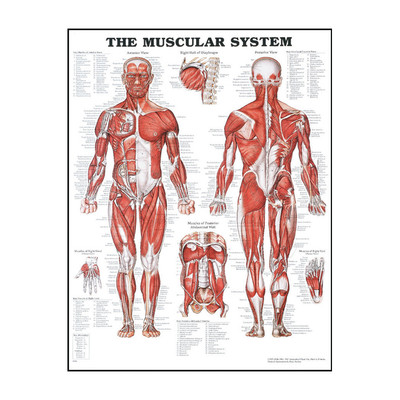 Anatomy Chart Muscular System, illustrated chart with diagrammed muscles & medical terms, Health Edco, 70501