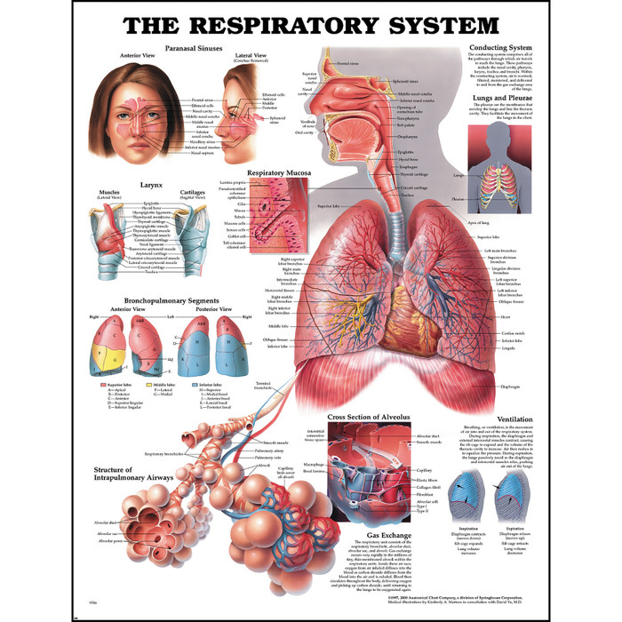 Human Anatomy Chart: The Respiratory System | Health Edco