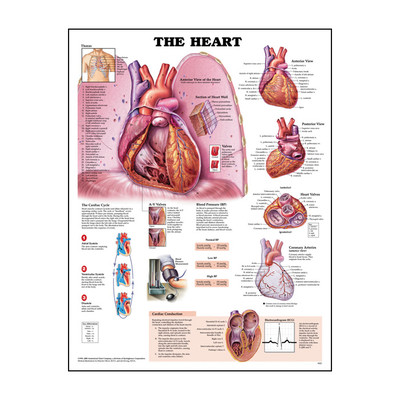 Human Heart Anatomy Chart For Health Education | Health Edco