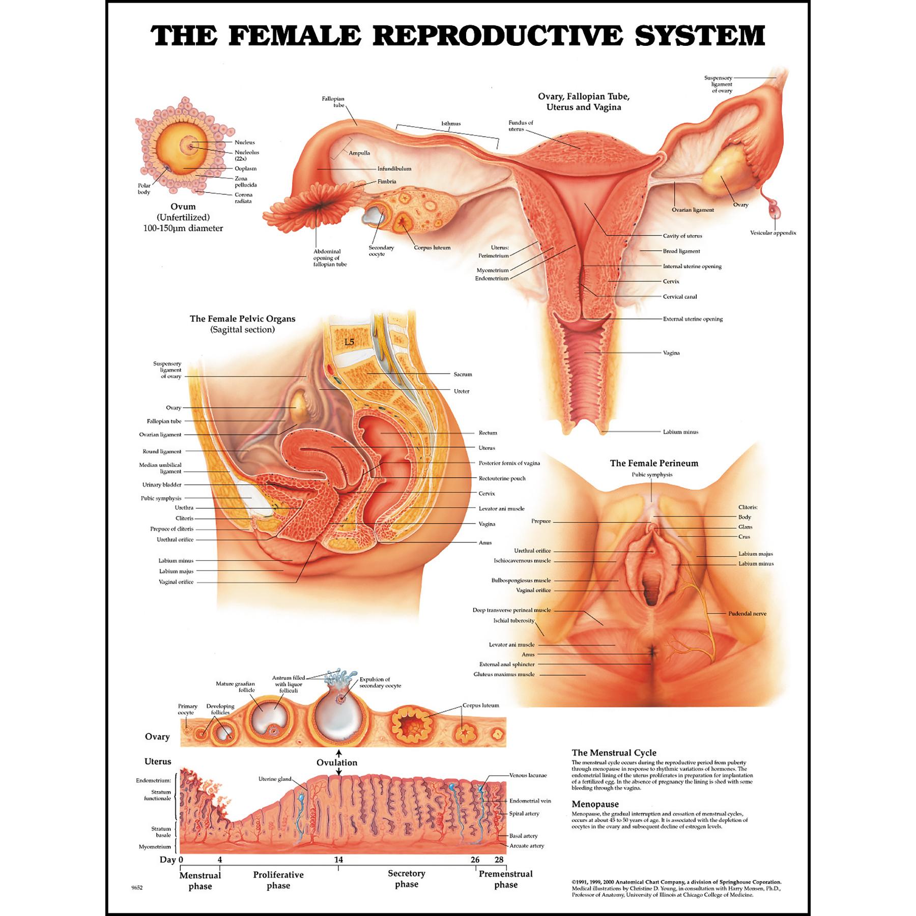 Female Perineum Diagram For Education - Information Of Wiring Diagram •