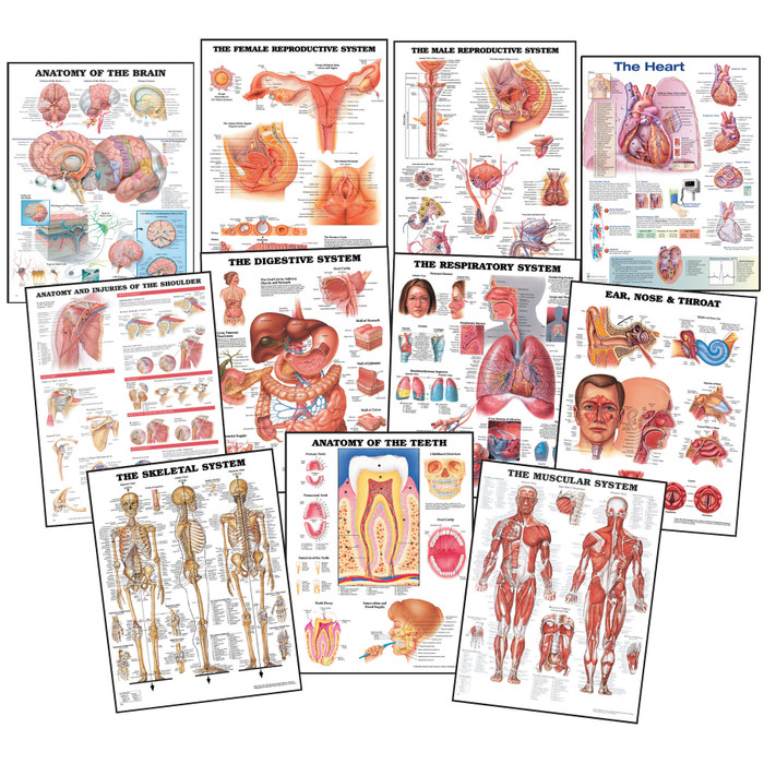 Anatomy Chart Set, anatomical charts for health education and medical and anatomical instruction, Health Edco, 70560
