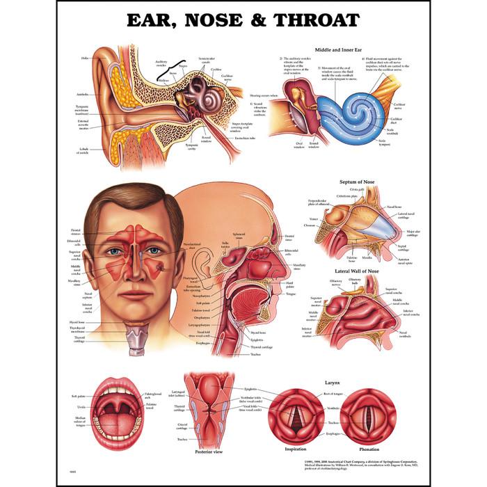 Educational Ear Nose Throat Anatomy Chart Health Edco