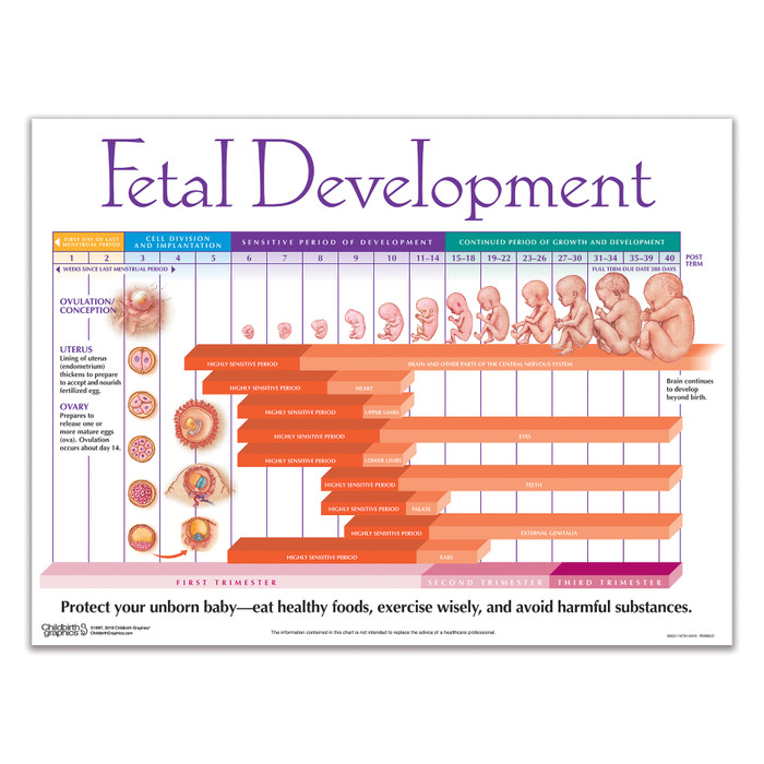 Weekly Fetal Development Chart Childbirth Graphics